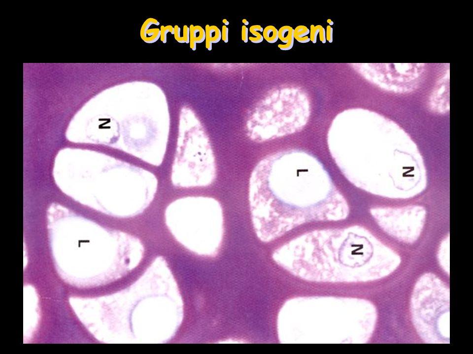 Gruppi isogeni