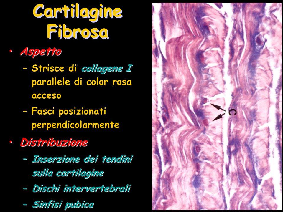 Cartilagine Fibrosa AspettoAspetto collagene I –Strisce di collagene I parallele di color rosa acceso –Fasci posizionati perpendicolarmente Distribuzi