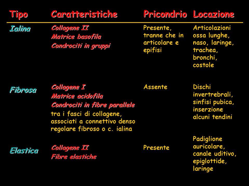 TipoCaratteristichePricondrioLocazione Ialina Collagene II Matrice basofila Condrociti in gruppi Presente, tranne che in articolare e epifisi Articola