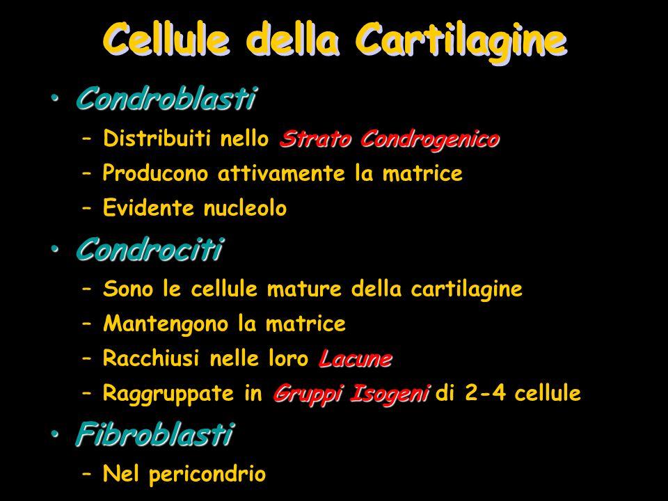 Cellule della Cartilagine CondroblastiCondroblasti Strato Condrogenico –Distribuiti nello Strato Condrogenico –Producono attivamente la matrice –Evide