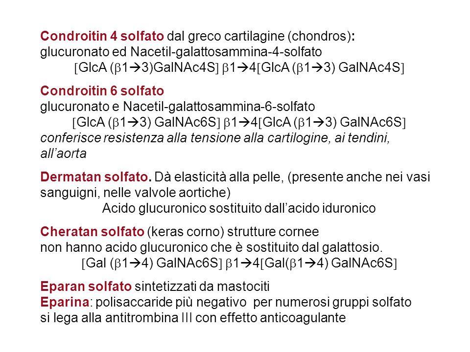 Condroitin 4 solfato dal greco cartilagine (chondros): glucuronato ed Nacetil-galattosammina-4-solfato GlcA ( 1 3)GalNAc4S 1 4 GlcA ( 1 3) GalNAc4S Co