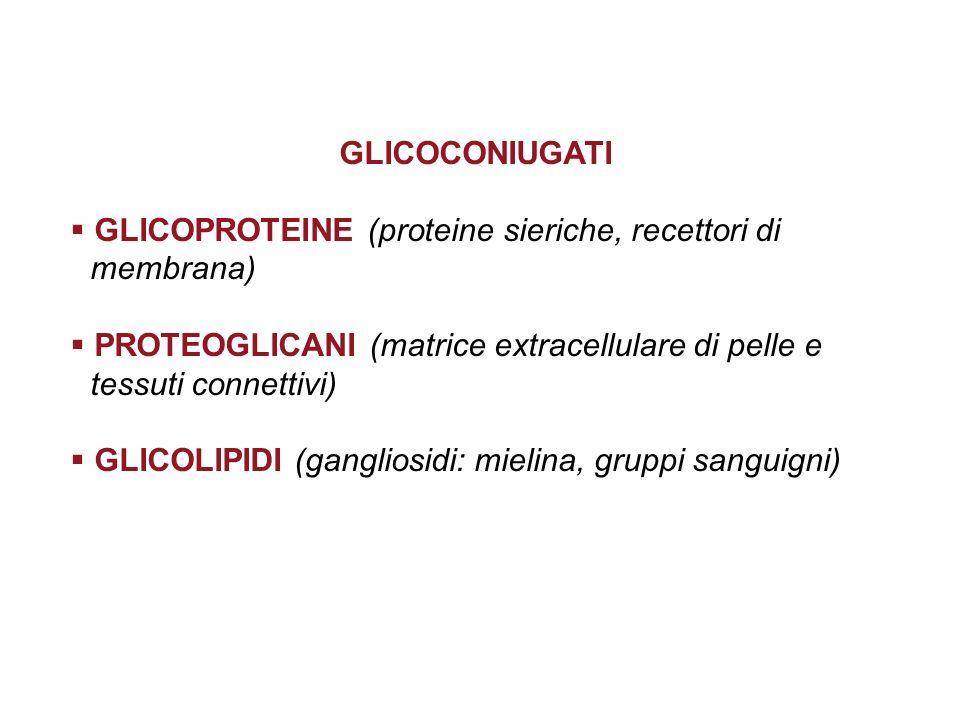 GLICOCONIUGATI GLICOPROTEINE (proteine sieriche, recettori di membrana) PROTEOGLICANI (matrice extracellulare di pelle e tessuti connettivi) GLICOLIPI
