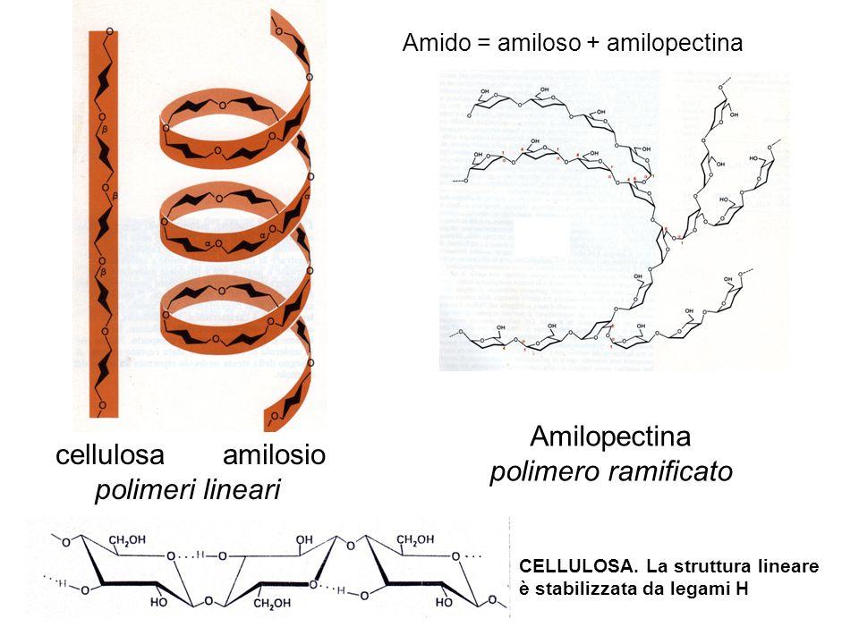 cellulosa amilosio polimeri lineari Amilopectina polimero ramificato CELLULOSA. La struttura lineare è stabilizzata da legami H Amido = amiloso + amil