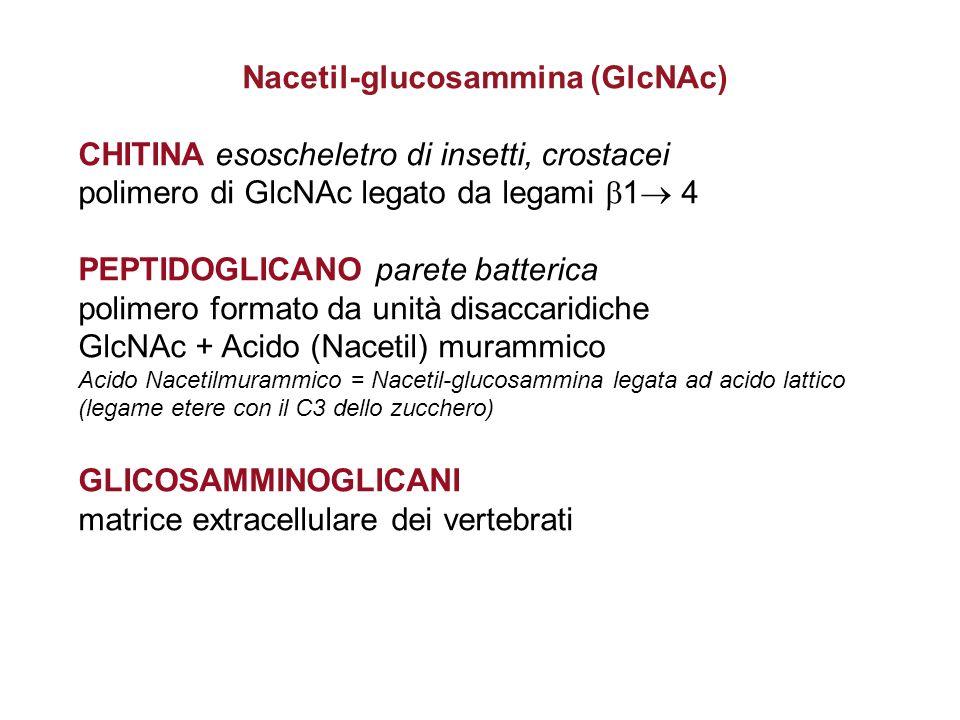 GLICOSAMMINOGLICANI (o MUCOPOLISACCARIDI) La matrice extracellulare di connettivi quali cartilagine, pelle, pareti dei vasi sono formati da fibre di collagene ed elastina e da strutture polisaccaridiche Polimeri non ramificati formati da unità costituita da un disaccaride, in genere acido glucuronico + Nacetil-glucosammina (o Nacetilgalattosammina) uniti da legami beta.