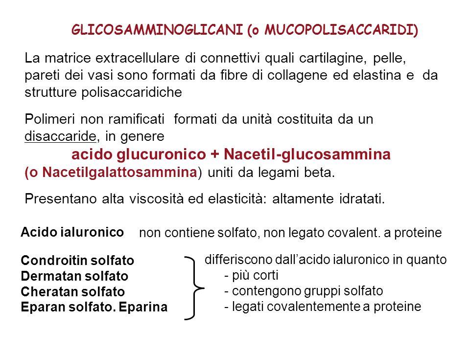GLICOSAMMINOGLICANI (o MUCOPOLISACCARIDI) La matrice extracellulare di connettivi quali cartilagine, pelle, pareti dei vasi sono formati da fibre di c