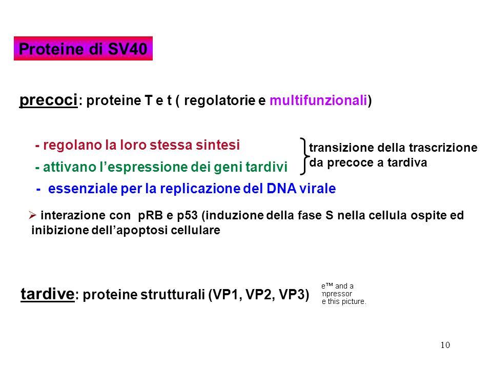 10 tardive : proteine strutturali (VP1, VP2, VP3) - regolano la loro stessa sintesi transizione della trascrizione da precoce a tardiva - attivano les