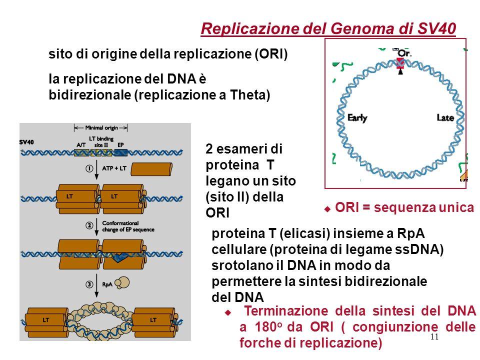 11 Replicazione del Genoma di SV40 sito di origine della replicazione (ORI) la replicazione del DNA è bidirezionale (replicazione a Theta) ORI = seque