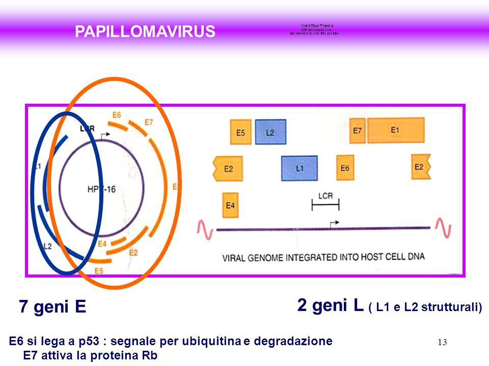 13 PAPILLOMAVIRUS 7 geni E 2 geni L ( L1 e L2 strutturali) E6 si lega a p53 : segnale per ubiquitina e degradazione E7 attiva la proteina Rb