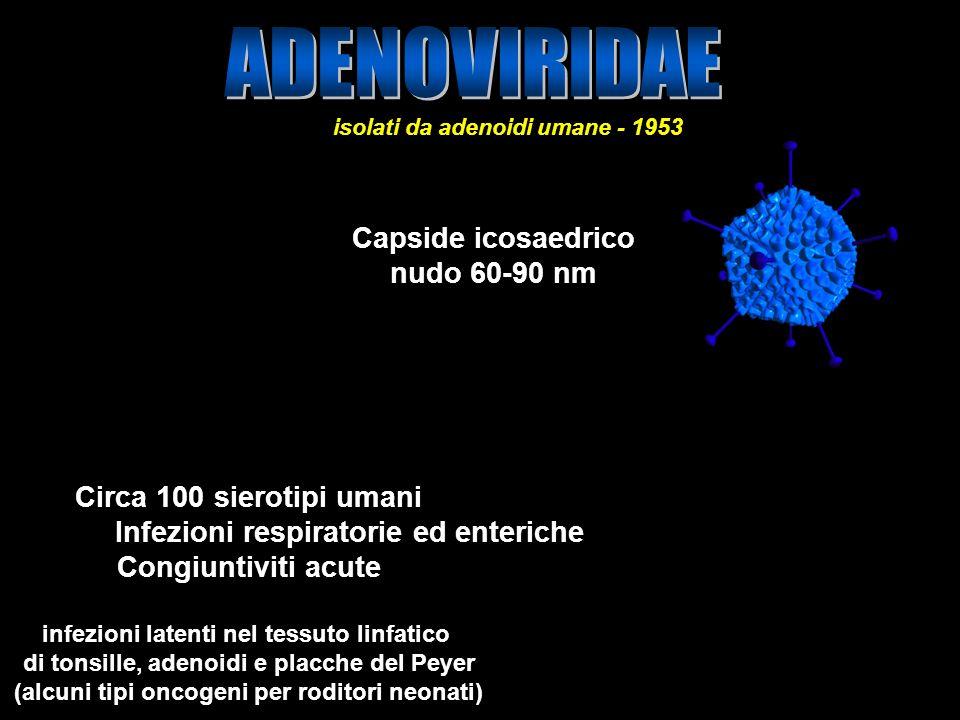 16 Capside icosaedrico nudo 60-90 nm Circa 100 sierotipi umani Infezioni respiratorie ed enteriche Congiuntiviti acute infezioni latenti nel tessuto l