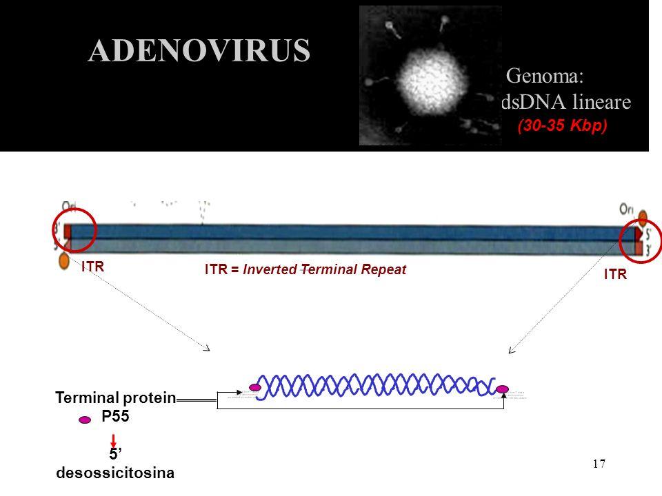 18 Espressione del genoma Geni precoci = E1a, E1b, E2a, E2b (DNA pol), E3, E4 Geni tardivi = L1, L2, L3, L4, L5 (proteine strutturali) ADENOVIRUS