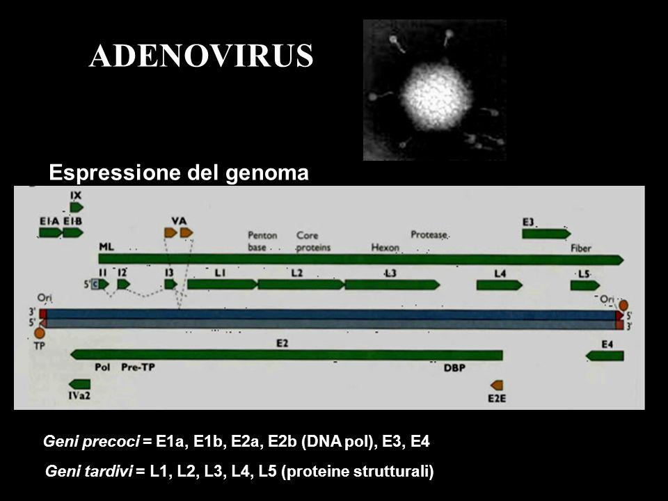 19 From Flint et al.Principles of Virology (2000), ASM Press 3.
