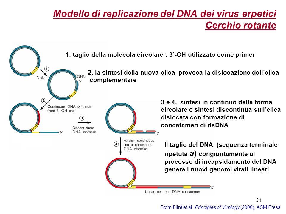 24 Modello di replicazione del DNA dei virus erpetici Cerchio rotante From Flint et al. Principles of Virology (2000), ASM Press 1. taglio della molec