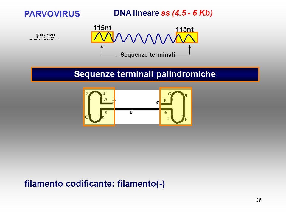 28 PARVOVIRUS: DNA lineare ss (4.5 - 6 Kb) Sequenze terminali palindromiche Sequenze terminali filamento codificante: filamento(-) 115nt