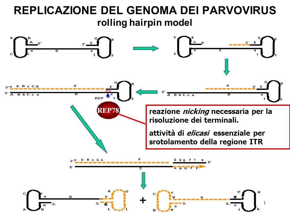 30 REPLICAZIONE DEL GENOMA DEI PARVOVIRUS rolling hairpin model REP78 reazione nicking necessaria per la risoluzione dei terminali. attività di elicas