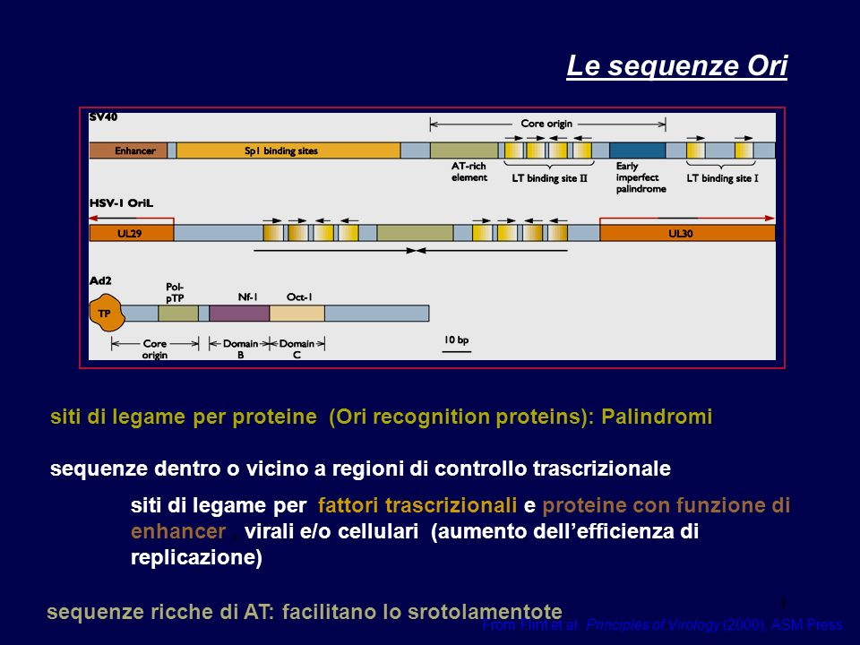 4 Le sequenze Ori From Flint et al. Principles of Virology (2000), ASM Press siti di legame per proteine (Ori recognition proteins): Palindromi sequen