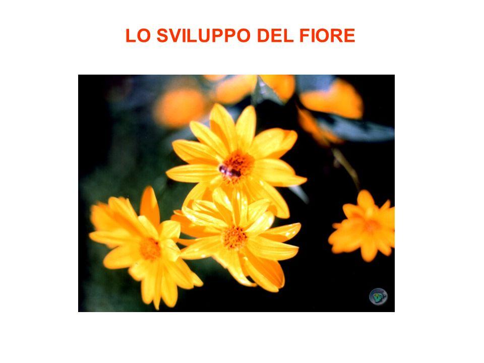Struttura schematica di un fiore(ermafrodita)