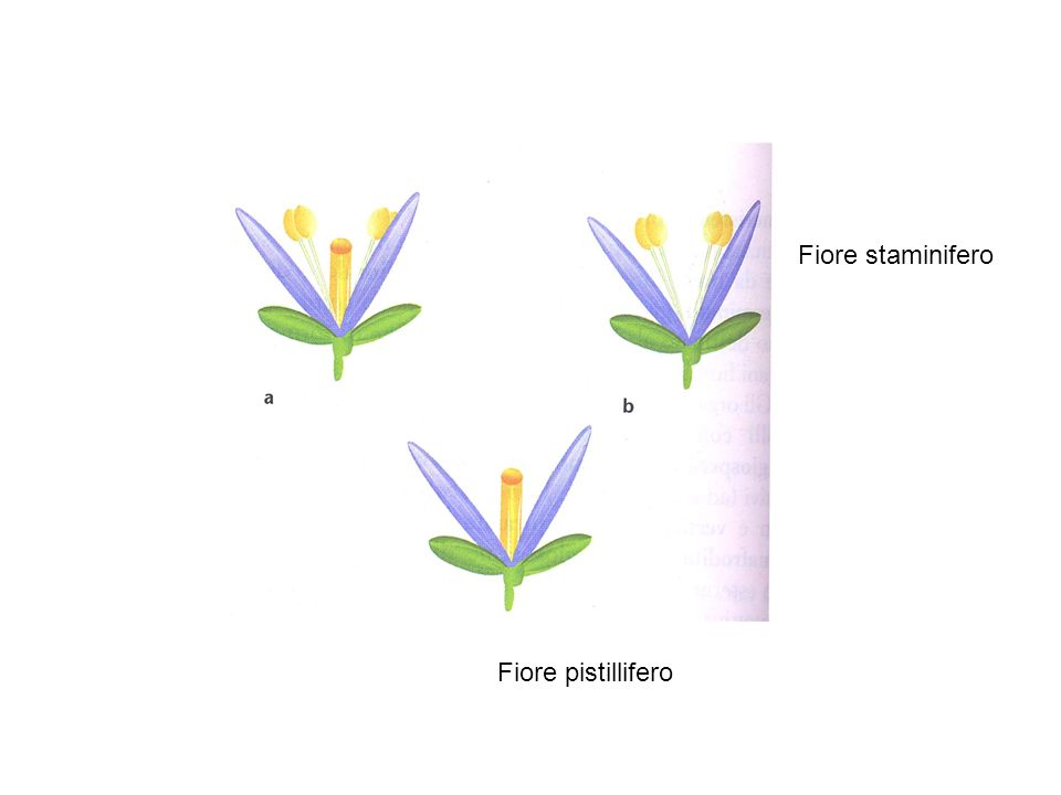 Tutti e tre i geni SEP sono necessari per lo sviluppo corretto degli organi fiorali (in assenza dei geni SEP i tre verticilli interni si sviluppano tutti come sepali) I geni SEP sono ridondanti (necessari i tripli mutanti per la manifestazione del fenotipo)