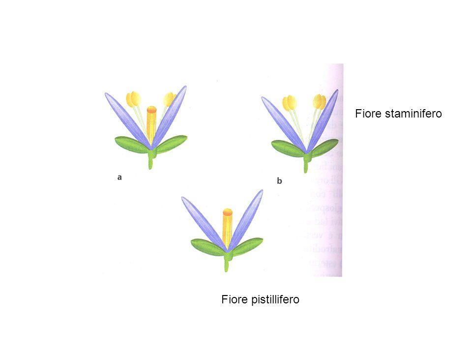 In Arabidopsis Classe A: APETALA1 (AP1), APETALA 2 (AP2) Classe B: APETALA3 (AP3), PISTILLATA (PI) Classe C: AGAMOUS (AG) In Anthirrinum Classe A: SQUAMOSA (SQUA) Classe B: DEFICIENS (DEF), GLOBOSA (GLO) Classe C: PLENA