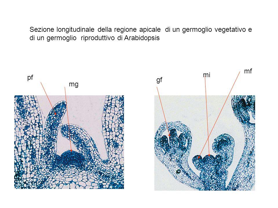 Il meristema fiorale determina la formazione di quattro organi organizzati in cerchi concentrici verticilli La formazione degli organi più interni (carpelli) esaurisce le cellule meristematiche nella zona apicale e rimangono solo i primordi degli organi fiorali In Arabidopsis dallesterno: Quattro sepali (verdi) Quattro petali (bianchi) Sei stami (quattro più lunghi) Un pistillo (composto da due carpelli fusi a formare lovario; lo stilo e lo stigma)
