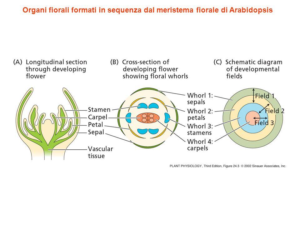 SEP4 sep1 sep2 sep3 : 1 verticillo sepali altri verticilli sepali omeotici (indeterminato) I geni sepallata sono necessari per la conversione delle foglie in organi fiorali sep1 sep2 sep3 sep4: tutti i verticilli foglie omeotiche