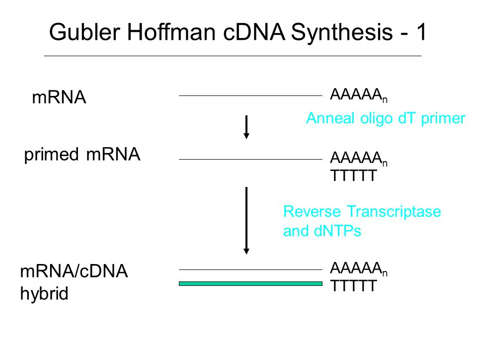mRNA Purification 1. Total RNA Purification 2. PolyA + RNA purification using oligo(dT)