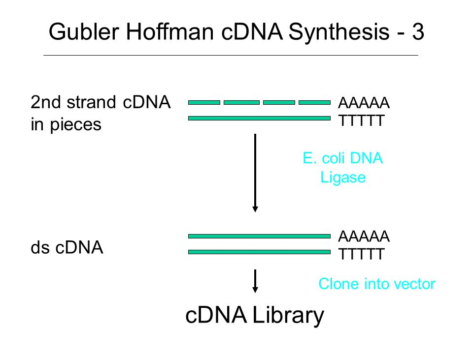 mRNA/cDNA hybrid nicked RNA AAAAA n TTTTT AAAAA TTTTT RNase H Gubler Hoffman cDNA Synthesis - 2 AAAAA n TTTTT DNA Pol I nicked RNA used as primers by