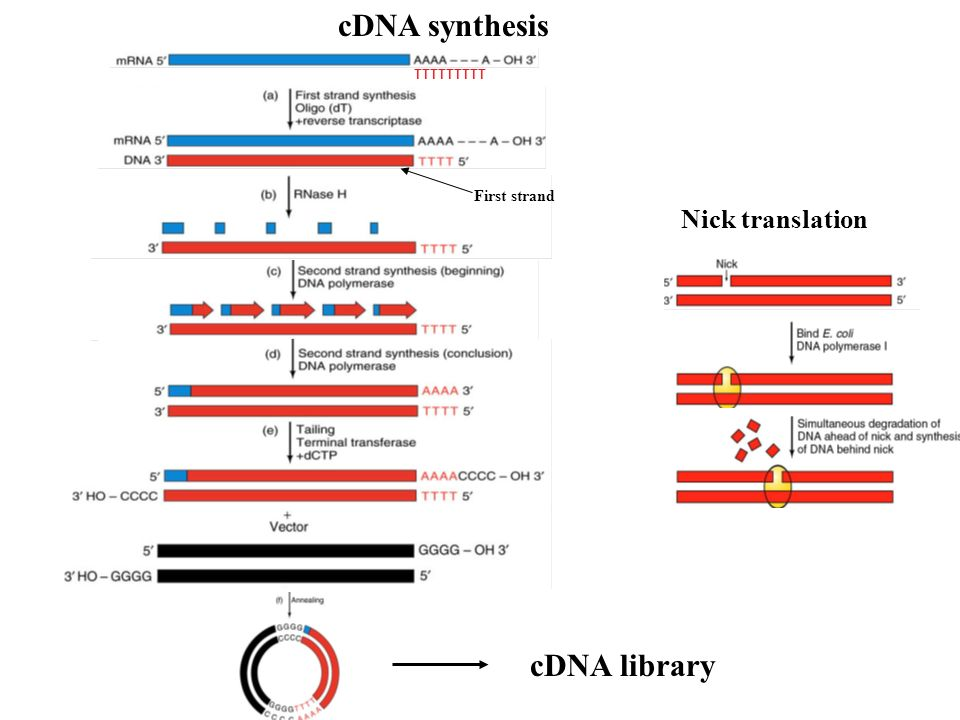 2nd strand cDNA in pieces ds cDNA AAAAA TTTTT cDNA Library Clone into vector E. coli DNA Ligase Gubler Hoffman cDNA Synthesis - 3 AAAAA TTTTT