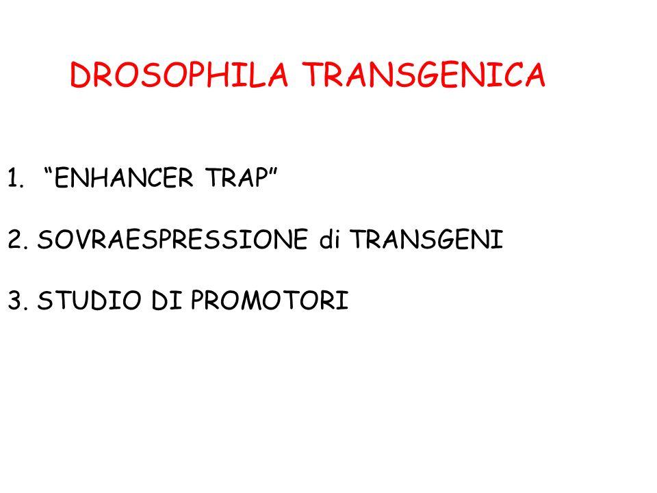 1.ENHANCER TRAP 2. SOVRAESPRESSIONE di TRANSGENI 3. STUDIO DI PROMOTORI DROSOPHILA TRANSGENICA