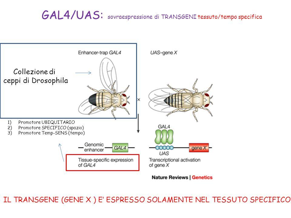 GAL4/UAS: sovraespressione di TRANSGENI tessuto/tempo specifica IL TRANSGENE (GENE X ) E ESPRESSO SOLAMENTE NEL TESSUTO SPECIFICO 1)Promotore UBIQUITA