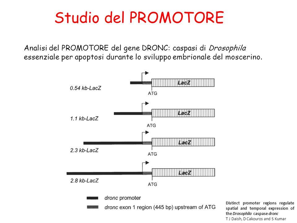 Analisi del PROMOTORE del gene DRONC: caspasi di Drosophila essenziale per apoptosi durante lo sviluppo embrionale del moscerino. Studio del PROMOTORE