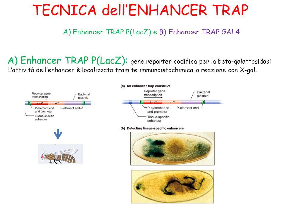 TECNICA dellENHANCER TRAP A) Enhancer TRAP P(LacZ): gene reporter codifica per la beta-galattosidasi Lattività dellenhancer è localizzata tramite immu