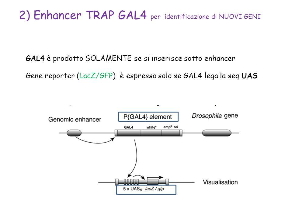 2) Enhancer TRAP GAL4 per identificazione di NUOVI GENI GAL4 è prodotto SOLAMENTE se si inserisce sotto enhancer Gene reporter (LacZ/GFP) è espresso s