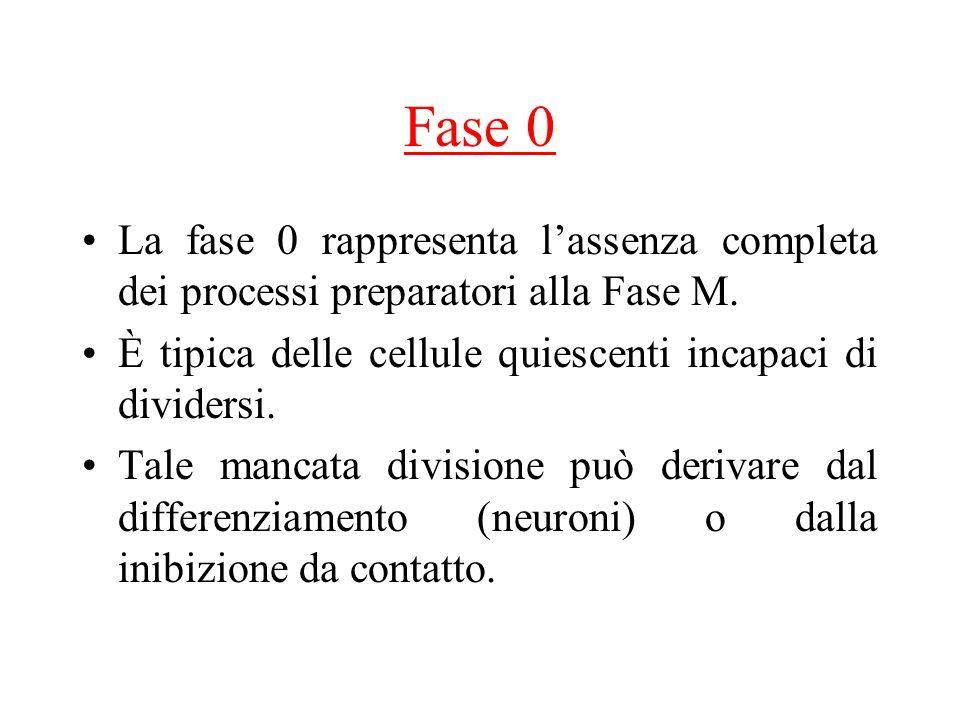 Fase 0 La fase 0 rappresenta lassenza completa dei processi preparatori alla Fase M. È tipica delle cellule quiescenti incapaci di dividersi. Tale man