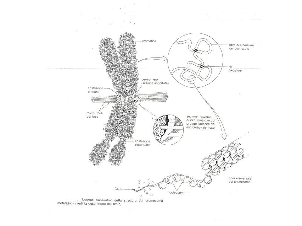 Profase mitotica Inizia a formarsi il fuso mitotico costituito da microtubuli.