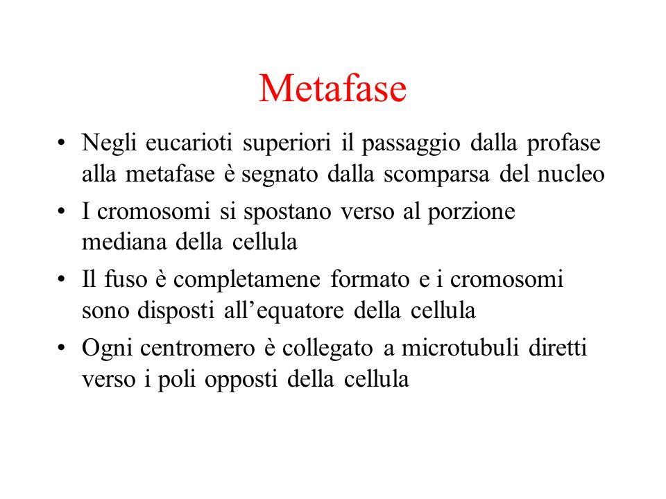 Metafase Negli eucarioti superiori il passaggio dalla profase alla metafase è segnato dalla scomparsa del nucleo I cromosomi si spostano verso al porz