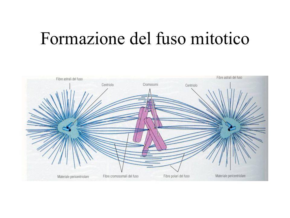 Formazione del fuso mitotico