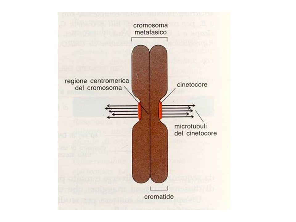 Anafase Questa fase inizia quando i microtubuli iniziano a spostarsi verso i poli trascinando i cromatidi I cromatidi sono quindi localizzati ai poli opposti della cellula