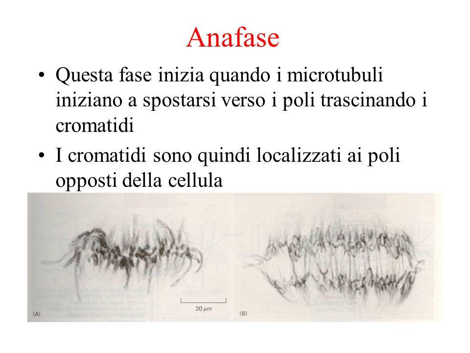 Anafase Questa fase inizia quando i microtubuli iniziano a spostarsi verso i poli trascinando i cromatidi I cromatidi sono quindi localizzati ai poli