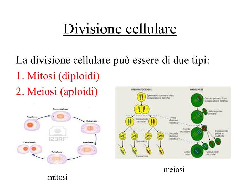 La divisione cellulare può essere di due tipi: 1. Mitosi (diploidi) 2. Meiosi (aploidi) meiosi mitosi