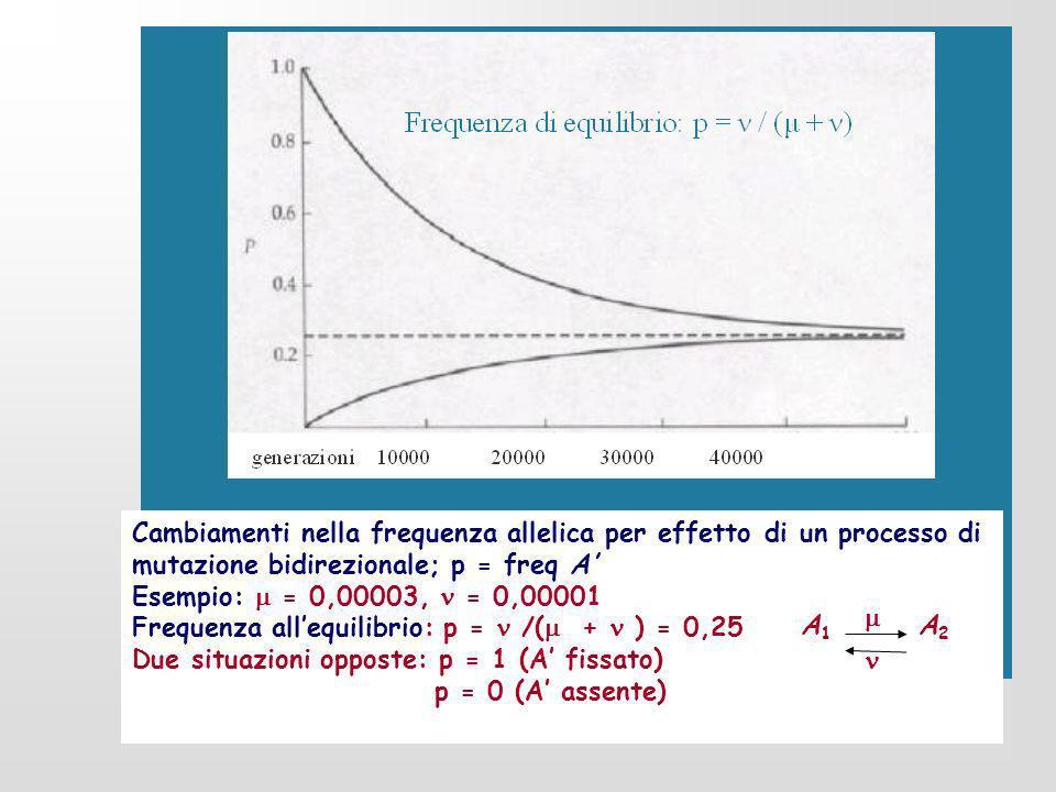 Cambiamenti nella frequenza allelica per effetto di un processo di mutazione bidirezionale; p = freq A Esempio: = 0,00003, = 0,00001 Frequenza allequi