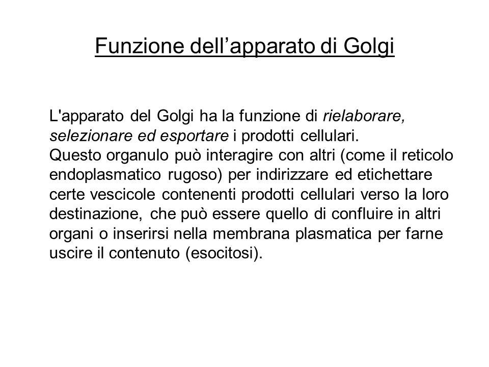 IL COMPLESSO DI GOLGI È costituito da una serie di cisterne appiattite formate da membrana, sacchi discoidali impilati un sistema di queste cisterne è chiamata pila del Golgi e nei vegetali è denominata Dittiosoma.