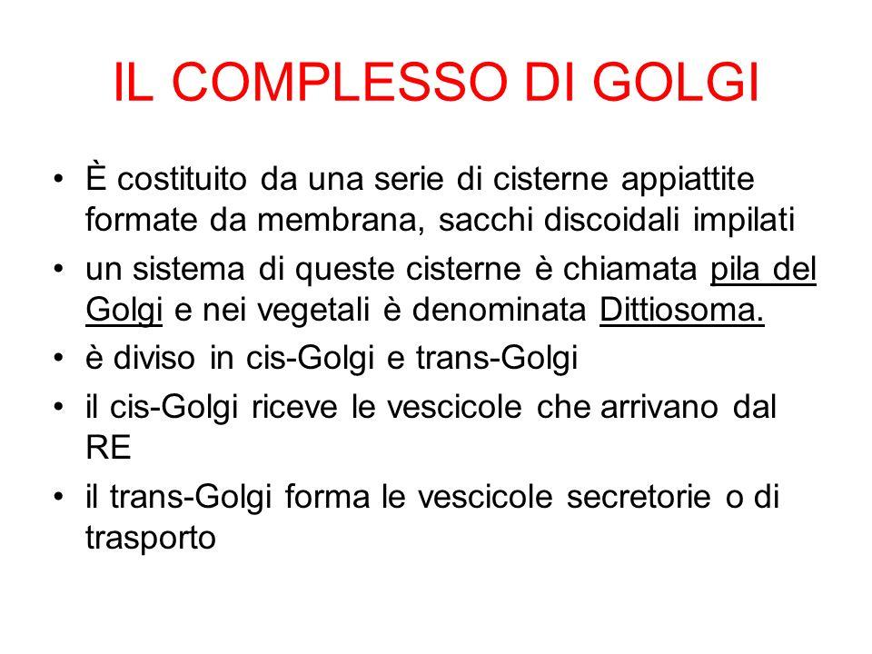 IL COMPLESSO DI GOLGI È costituito da una serie di cisterne appiattite formate da membrana, sacchi discoidali impilati un sistema di queste cisterne è