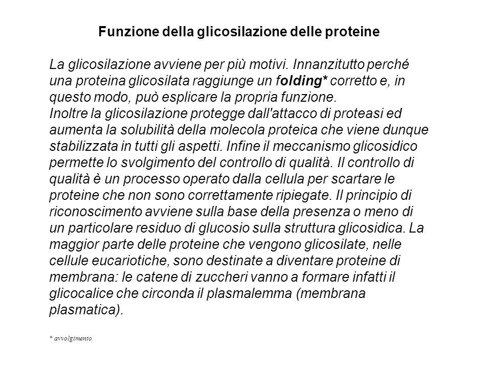 Funzione della glicosilazione delle proteine La glicosilazione avviene per più motivi. Innanzitutto perché una proteina glicosilata raggiunge un foldi