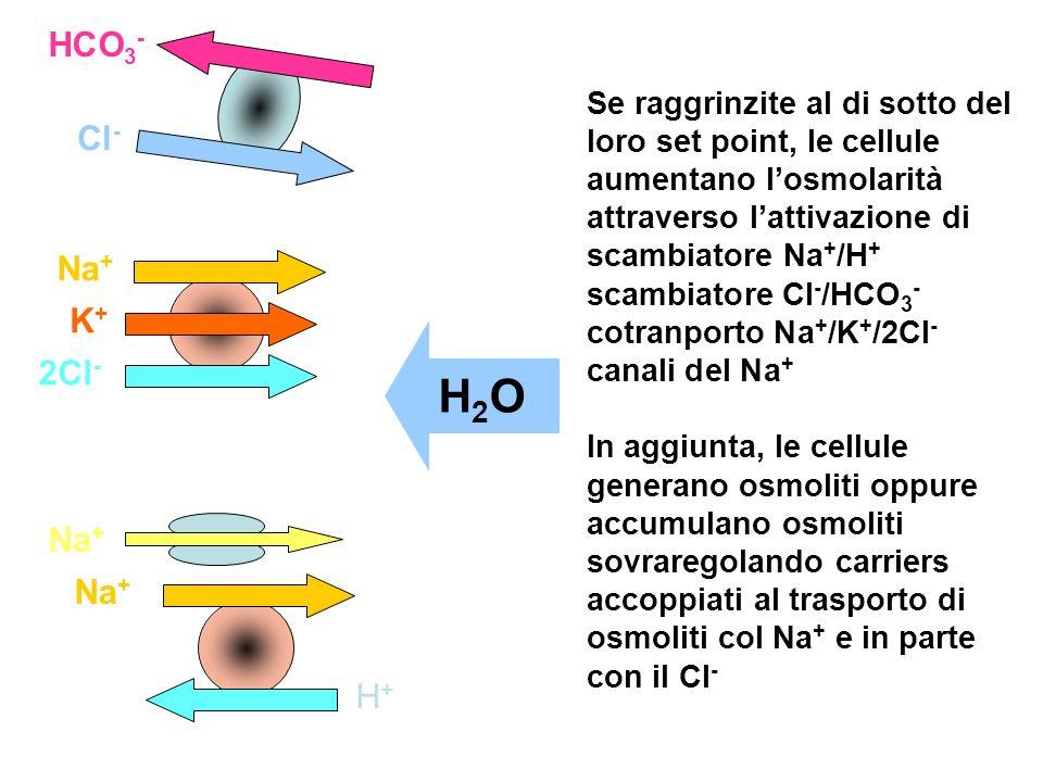 HCO 3 - Cl - Na + K+K+ 2Cl - Na + H+H+ Se raggrinzite al di sotto del loro set point, le cellule aumentano losmolarità attraverso lattivazione di scam