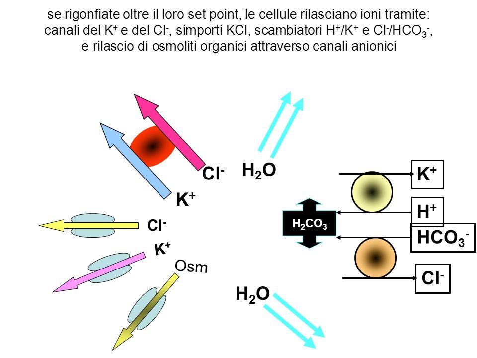 se rigonfiate oltre il loro set point, le cellule rilasciano ioni tramite: canali del K + e del Cl -, simporti KCl, scambiatori H + /K + e Cl - /HCO 3