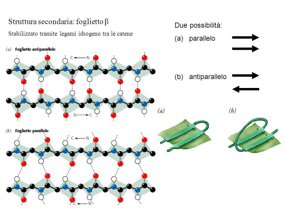 Struttura secondaria: foglietto β Stabilizzato tramite legami idrogeno tra le catene Due possibilità: (a) parallelo (b) antiparallelo
