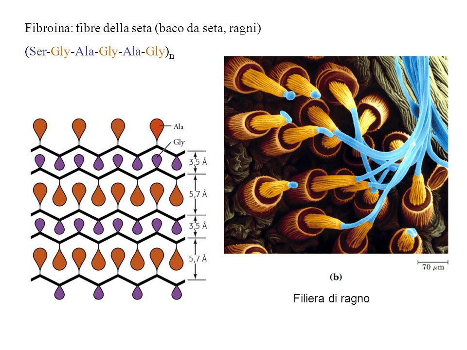 Fibroina: fibre della seta (baco da seta, ragni) (Ser-Gly-Ala-Gly-Ala-Gly) n Filiera di ragno