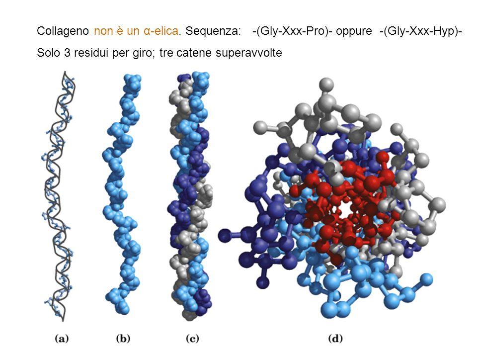 Collageno non è un α-elica. Sequenza: -(Gly-Xxx-Pro)- oppure -(Gly-Xxx-Hyp)- Solo 3 residui per giro; tre catene superavvolte