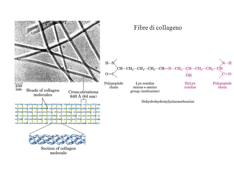 Fibre di collageno