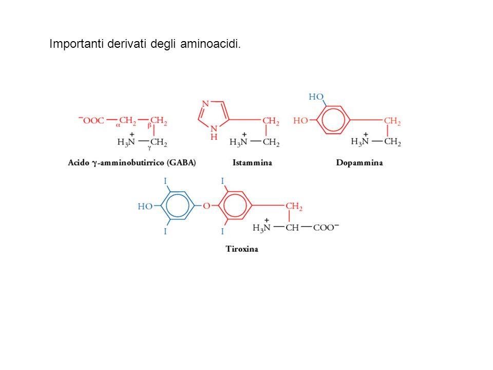 Proprietà degli aminoacidi presente nelle proteine pK a pK a pK a massa frequenza α-COOH α-NH 3 + catena lat.(dalton) (mol %) Alanina 2.3 9.7 - 71 9.0 Arginina 2.2 9.0 12.5 156 4.7 Asparagina 2.0 8.8 - 114 4.4 Acido aspartico 2.1 9.8 3.9 115 5.5 Cisteina 1.8 10.8 8.3 103 2.8 Glutamina 2.2 9.1 - 128 3.9 Acido glutammico 2.2 9.7 4.2 129 6.2 Glicina 2.3 9.6 - 57 7.5 Istidina 1.8 9.2 6.0 137 2.1 Isoleucina 2.4 9.7 - 113 4.6 Leucina 2.4 9.6 - 113 7.5 Lisina 2.2 9.0 10.0 128 7.0 Metionina 2.3 9.2 - 131 1.7 Fenilalanina 1.8 9.1 - 147 3.5 Prolina 2.0 10.6 - 97 4.6 Serina 2.2 9.2 - 87 7.1 Treonina 2.6 10.4 - 101 6.0 Triptofano 2.4 9.4 - 186 1.1 Tirosina 2.2 9.1 10.1 163 3.5 Valina 2.3 9.6 - 99 6.9